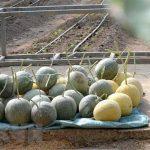Mô hình trồng dưa lưới thu lãi tiền tỷ ở Hưng Yên