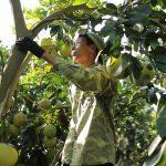 Canh tác hữu cơ: Thu tiền tỷ mỗi năm từ cây có múi