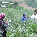 Lào Cai: Đưa dược liệu thành cây chủ lực trong phát triển nông nghiệp