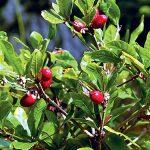 Miracle Berry: Loại quả kỳ lạ biến vị chua thành vị ngọt
